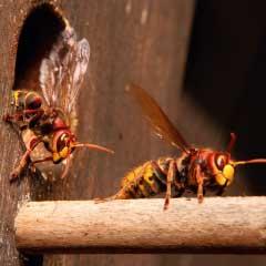 kastein apex sch dlingsbek mpfung hornissen bienen und hummeln. Black Bedroom Furniture Sets. Home Design Ideas