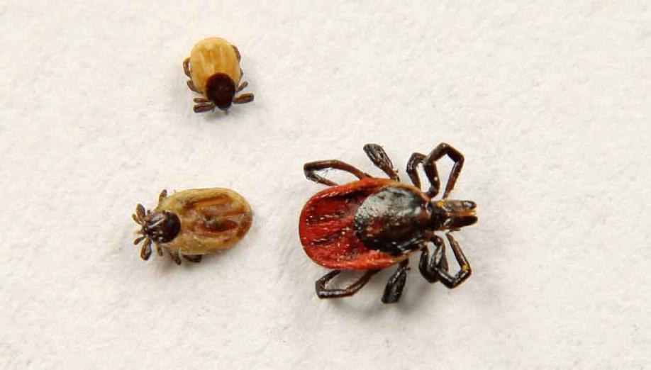 Mehlkäfer Bekämpfen kastein apex schädlingsbekämpfung zecken bekämpfen