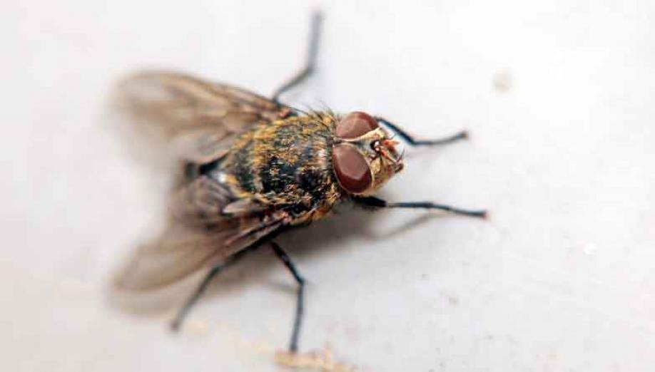 Mehlkäfer Bekämpfen kastein apex schädlingsbekämpfung fliegen bekämpfen