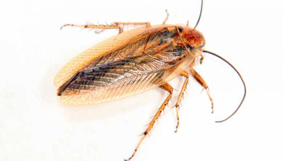 Mehlkäfer Bekämpfen kastein apex schädlingsbekämpfung schaben bekämpfen